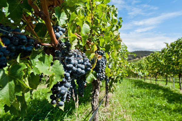 Stock photo: Ripe grapes right before harvest in the summer sun