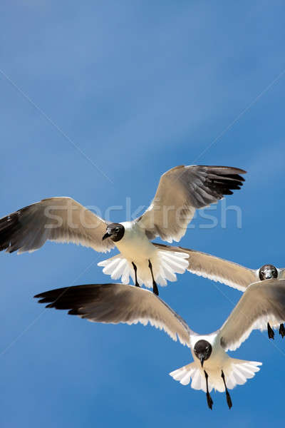 Stock photo: Seagulls Soaring