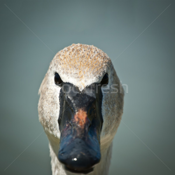 Stock photo: Trumpeter Swan Extreme Closeup
