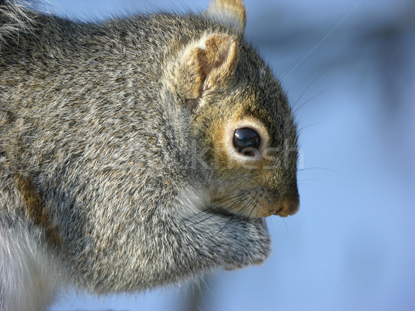 Stock photo: Grey Squirrel (Sciurus carolinensis)