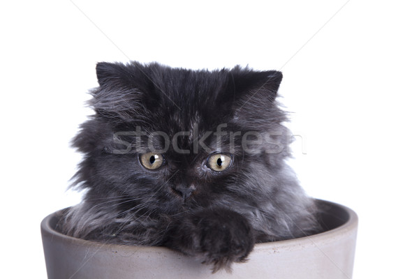 Stock photo: Young Longhair cat