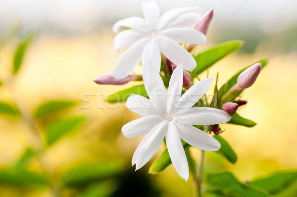 jasmine flowers close up stock photo calvin stevenson. Black Bedroom Furniture Sets. Home Design Ideas