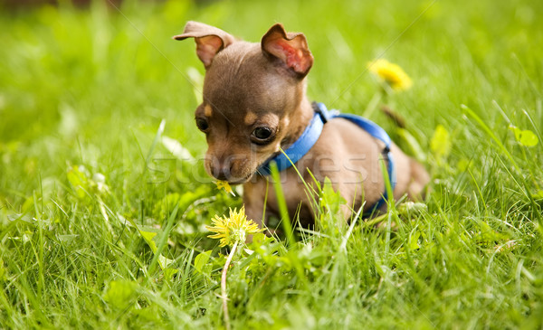 Stock photo: Little dog called toy terrier and grass