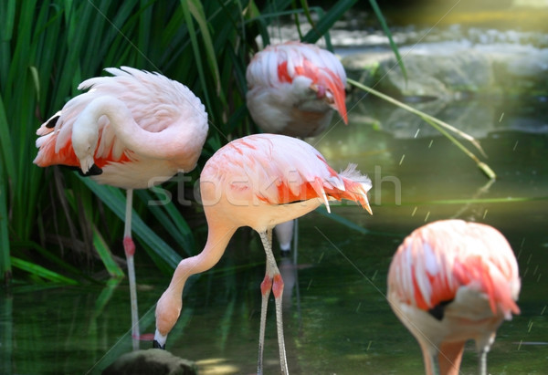Stock photo: flamingos
