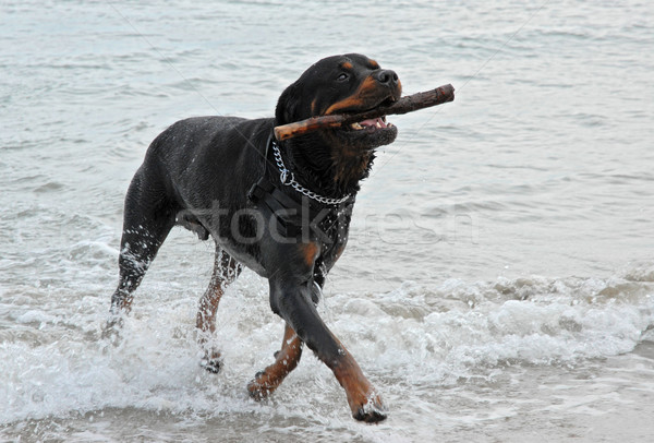 Stock photo: rottweiler playing in the sea