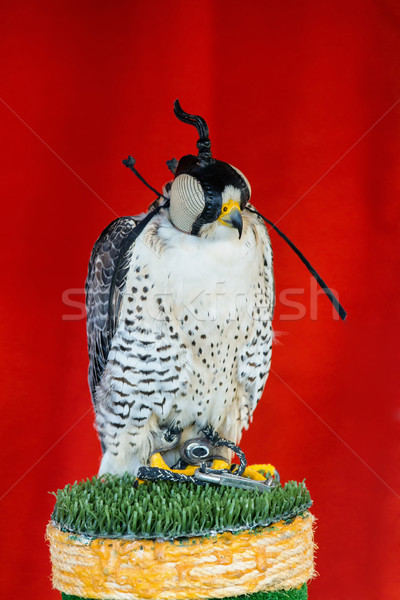 Stock photo: Gyrfalcon