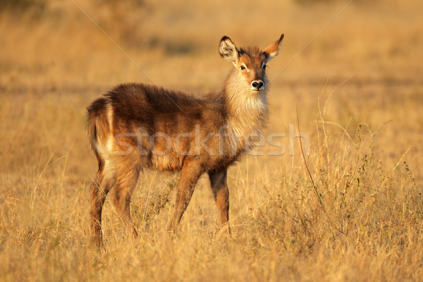 Stock photo: Young waterbuck