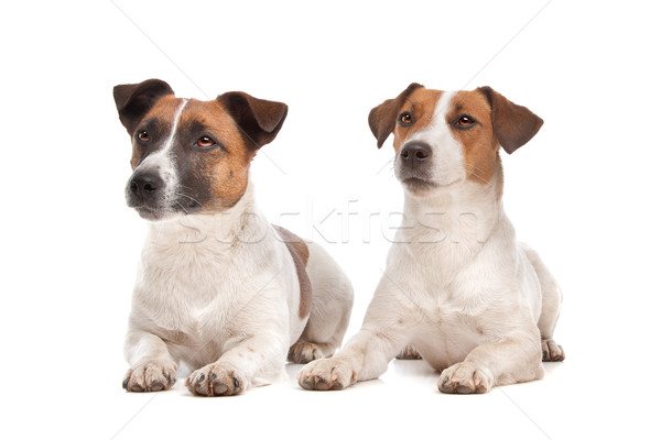 Stock photo: Jack Russel Terrier