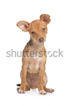 mixed breed chihuahua and miniature Pincher dog stock photo © Erik ...