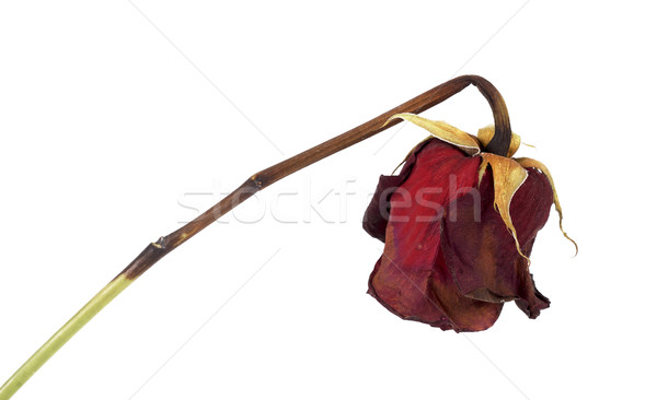 Stock photo: Dead rose