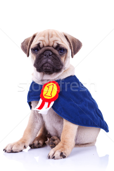 should have seen at westminster cute pug puppies in clothes