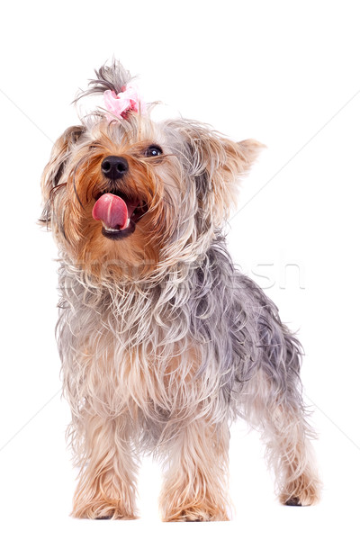 Stock photo: small yorkshire terrier licking its nose