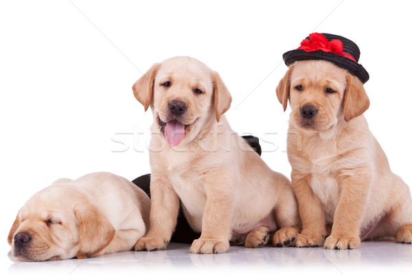 Stock photo: little labrador retriever puppies