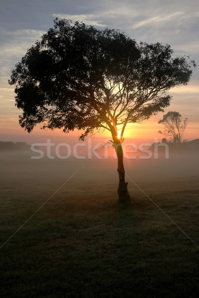 Stock photo: Tree and Mist at Sunrise