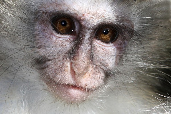 Stock photo: Baby Vervet Monkey Face