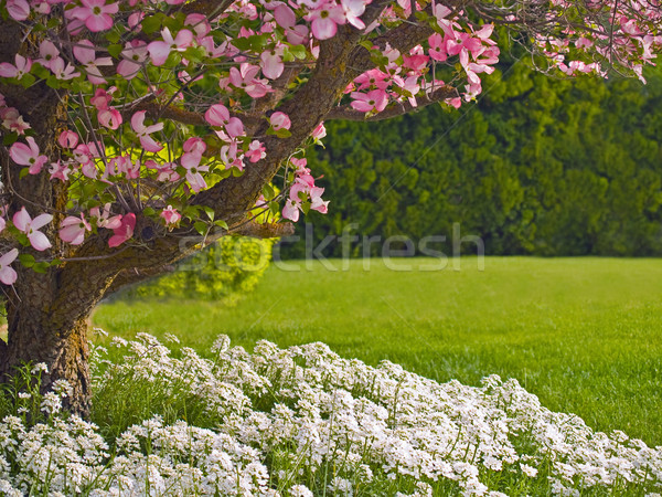 Stock photo: Pink blooms adorn a Dogwood tree