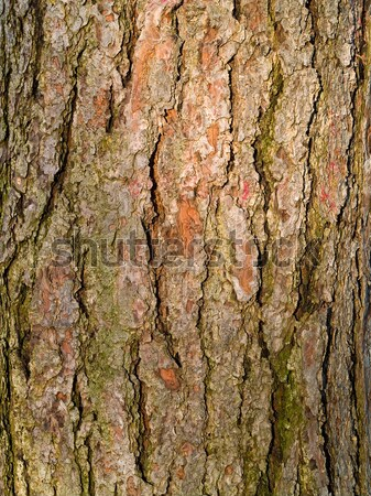 evergreen tree bark background - photo #5