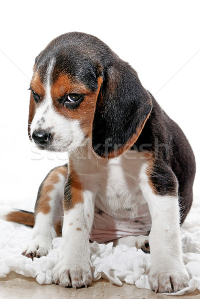 Stock photo: puppy dog with attitude