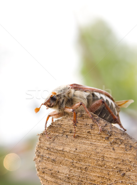 Stock photo: May-bug beetle