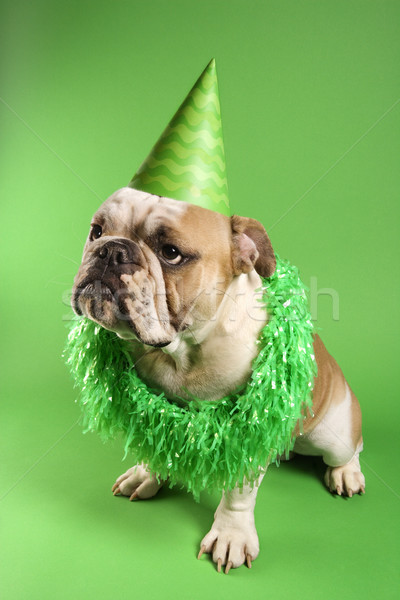 Stock photo: English Bulldog in party hat.