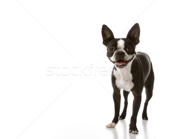 Stock photo: Boston Terrier dog.