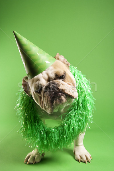 Stock photo: Bulldog in party hat.