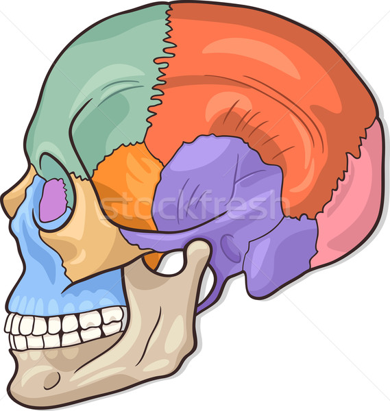Learn Skull Bones By Trishah50 Memorize Remember And