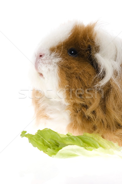 Stock photo: guinea pig isolated on the white background
