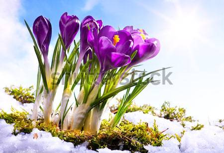 Stock photo: Art crocus flowers in the snow Thaw