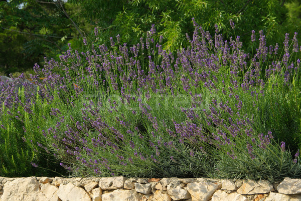 Stock photo: lavender on wall 04