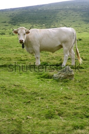 Stock photo: Beige cows cattle  eating in green  meadow