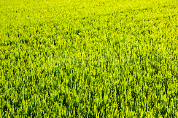 Stock photo: green grass rice field in Valencia Spain
