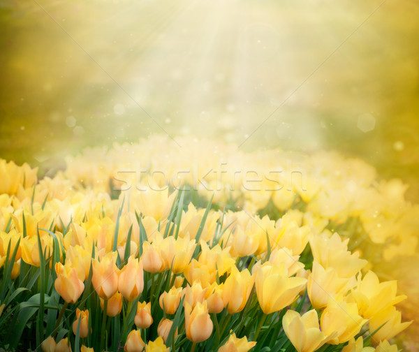 Stock photo: Tulips spring background