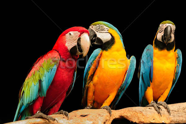 beautiful macaws eagerly looking at the camera