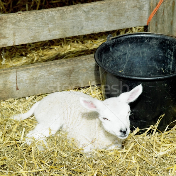 Stock photo: lamb, Den Hoorn, Texel Island, Netherlands
