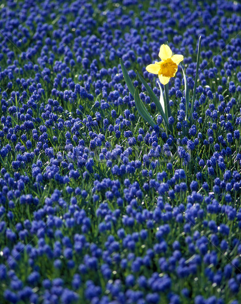 Stock photo: daffodil in hyacinth field, Netherlands