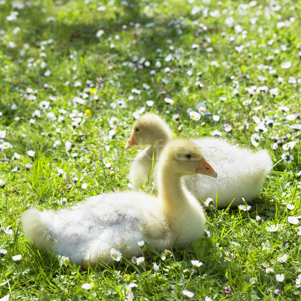 Stock photo: goslings
