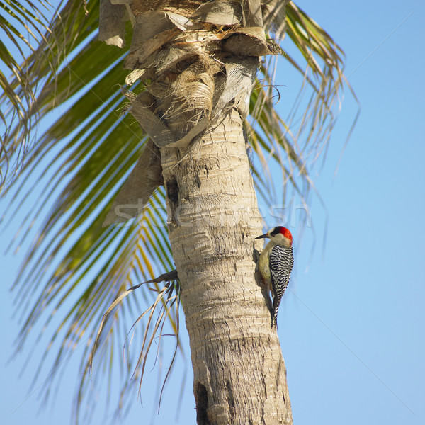 Stock photo: woodpecker, Mar