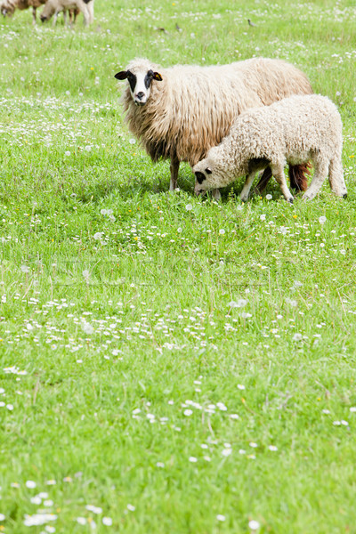 Stock photo: sheep with a lamb, Bosnia and Hercegovina
