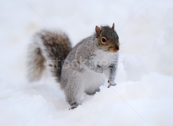 Stock photo: Squirrel with snow in winter