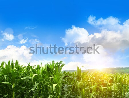 Stock photo: Field of young corn growing against blue sky