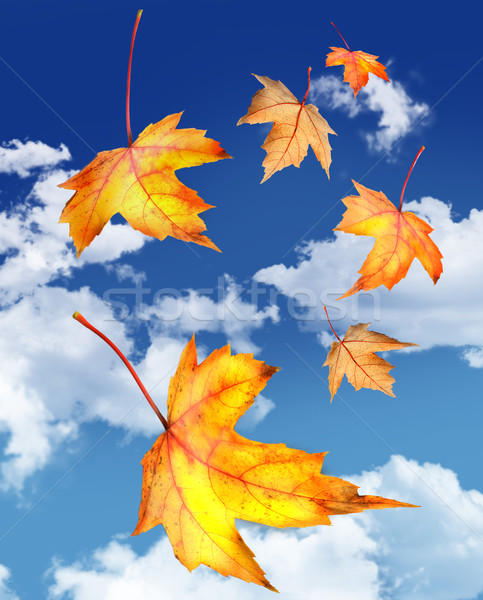 Stock photo: Maple leaves falling against a blue sky
