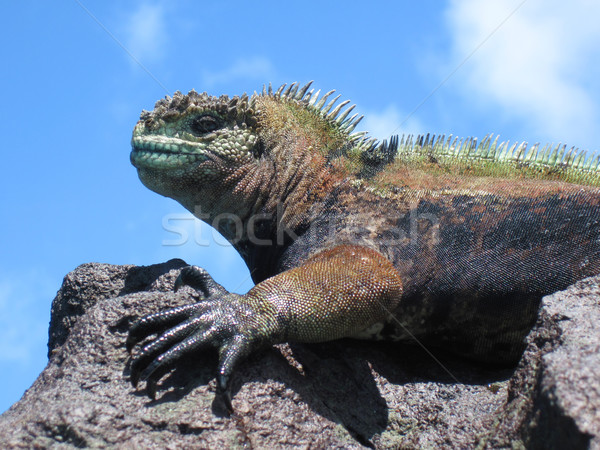 Stock photo: Colorful Marine Iguana On Rock