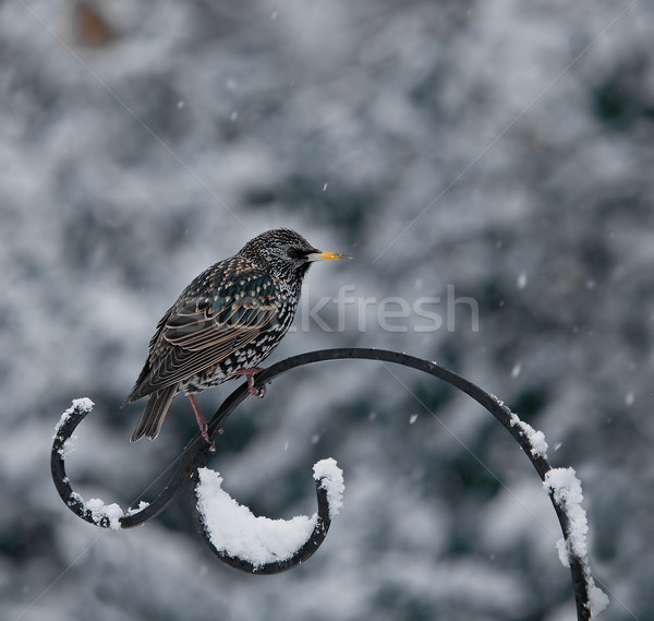 Stock photo: Starling in Snow