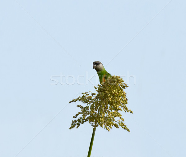Stock photo: Senegal Parrot