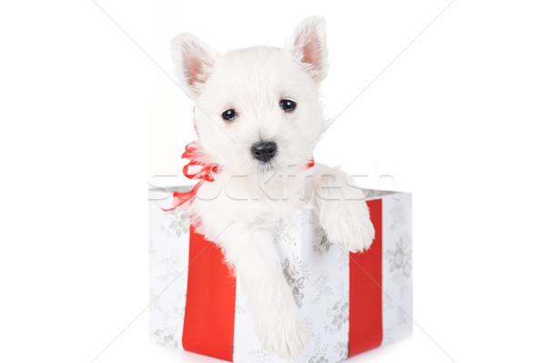 cute puppy in present box close up