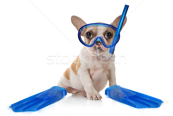 Stock photo: Puppy Dog With Swimming Snorkeling Gear